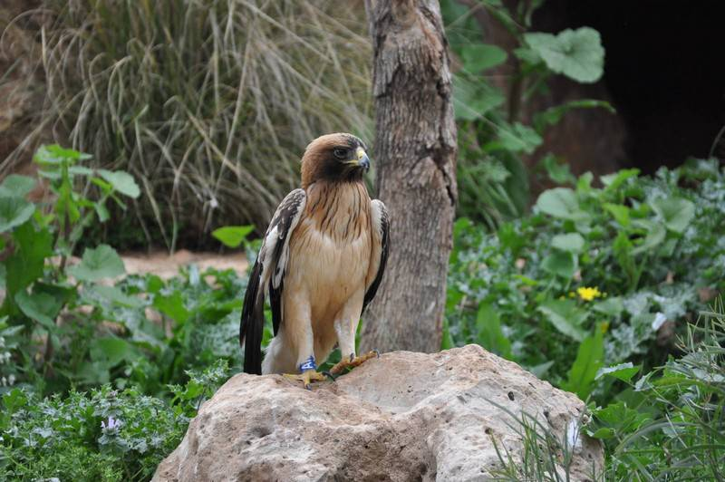 Карликовый орел