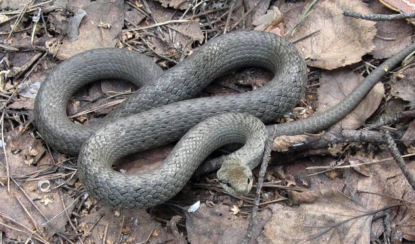 змея-медянка